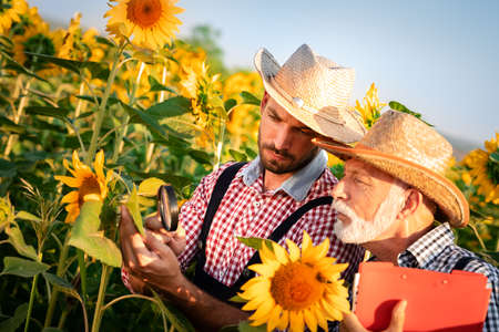 Senior farmer with son examine sunflower plant with magnifying glass. Health and quality of crop