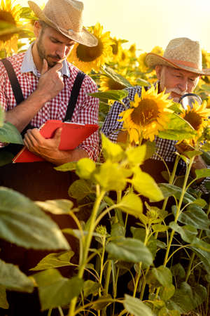 Two farmers in sunflower field quality checking sunflower plant with magnifying glass Foto de archivo