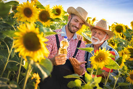 Senior farmer with adult son in sunflowers field. Young man farmer holding bottle sunflower oil in the field at sunset. Sunflower oil improves skin health and promotes cell regeneration.