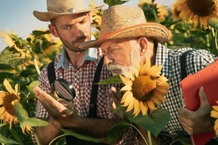 Two generation of farmers inspects sunflower plant using magnifying glass and standing in field