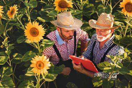 Two farmers in straw hat working in sunflower field Foto de archivo