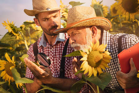 Senior farmer with son checking the sunflower in the field by using a magnifying glass to detect diseases or pests. Foto de archivo