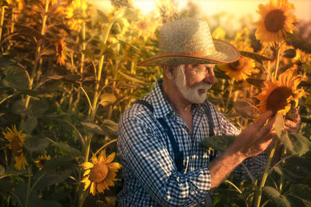 Senior farmer standing in the sunflower field, examining his crops before harvesting.