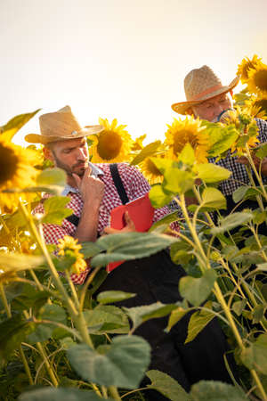 Senior farmer or agronomist with young colleague inspecting sunflower plants in a field before the harvest. Checking seed development and looking for parasites with magnifying glass. Organic farming and food production