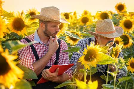 Two farmers working in sunflower field