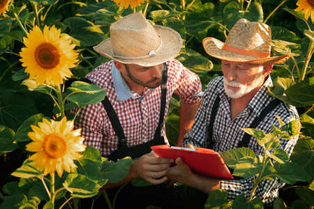 Farmers colleagues standing in sunflower and checking note