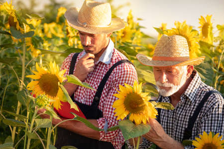 Senior gray haired agronomist observing sunflower plants on field with magnifying glass. Young colleague taking notes Foto de archivo