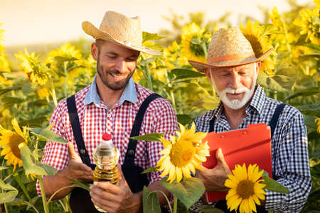 Farmers on sunflower field, cultivated sunflower and production sunflower oil