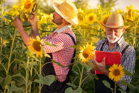 Two agronomists or farmers working in a sunflower field before the harvest. Organic farming and healthy food production.
