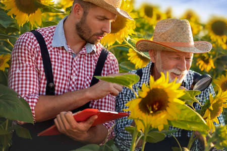 Two farmers working together in organic sunflowers field. Agricultural business concept