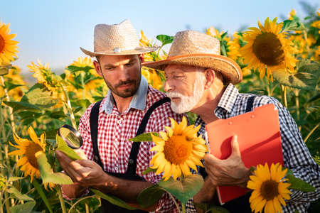 Two farmers looking sunflower plant trough magnifying glass. Health and quality of crop Foto de archivo