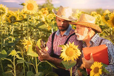 Farmers checking the quality of sunflower plant with magnifying glass