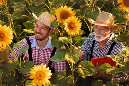 Agriculture production concept. Agronomists examine sunflower plant on field in summer.