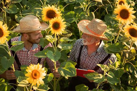 Two farmers with straw hat working in sunflower field, ranchers on organic farm Foto de archivo