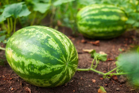 Watermelons on agricultural land, by a sunny day