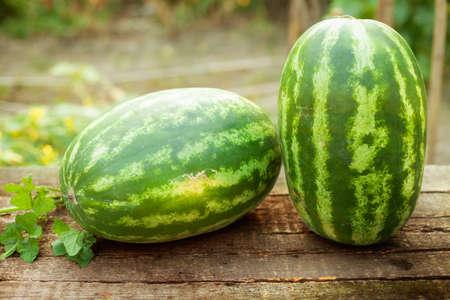 Close-up of watermelon growing in farm Foto de archivo - 154726144