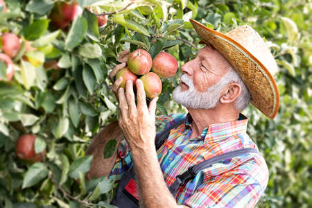Senior man smelling apples on tree. I enjoy in my organic fruit
