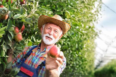 Happy senior farmer proudly demonstrates organic apple production Foto de archivo