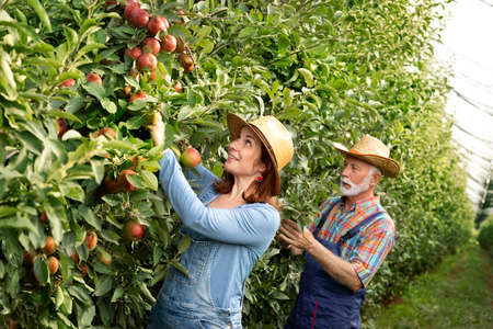 Senior farmer picking up apples with his daughter