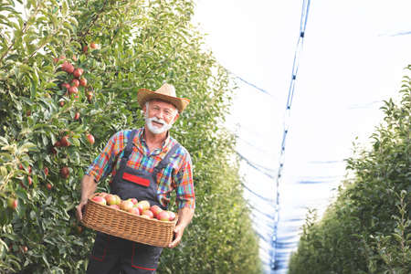 Smiling senior man holding a basket full of apples and carried through the orchard