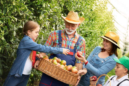 Senior man with grandchildren and daughter, together harvesting apple in an orchard. Fun and work