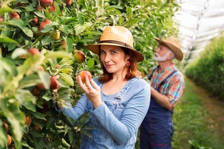Portrait of mature farming couple in an organic orchard apples. Foto de archivo