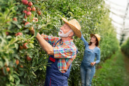 Caucasian farmer couple picking up apples in their orchard apples Foto de archivo