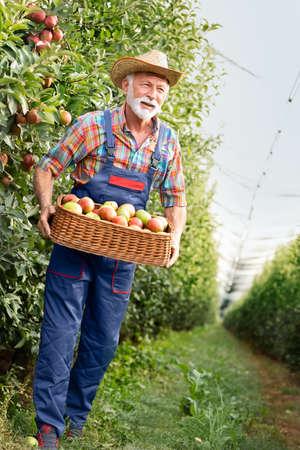 Senior  farmer carries apples through an orchard Foto de archivo