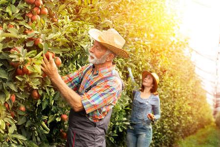 Man and woman harvesting apples Foto de archivo - 154726206