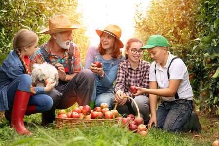 Nice family smiling and working in organic apple orchard Foto de archivo