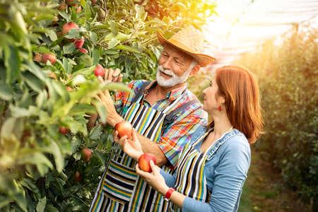 Team working on organic fruit plantation,  harvesting apples Foto de archivo - 154726208