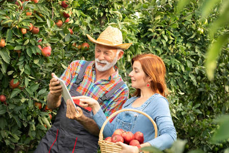 Farmers in orchard inspecting and harvesting organic apples Foto de archivo