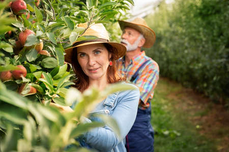 People working in a quince orchard. Senior man and mature woman Foto de archivo