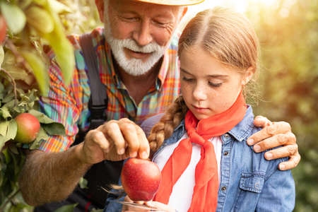 Nice freckled girl harvesting red apples with her grandfather Foto de archivo
