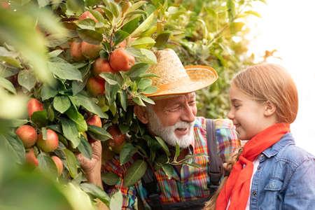 Picking apples, happy family, senior men, basket, grandfather
