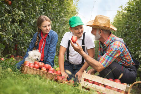 Fruit grower grandpa with grandchildren working in apple orchard Foto de archivo
