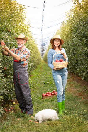 Couple working in orchard woman standing  with wicker basket full apples