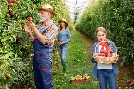 Little girl with family standing with basket of apples in the apple orchard Foto de archivo