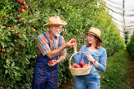 Smiling couple with a basket of apples outdoors Foto de archivo