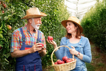 Farmer couple picking apples in orchard in autumn