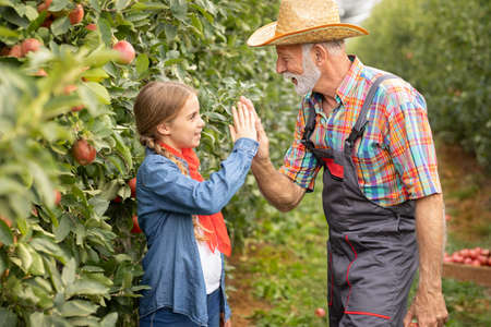 Granddaughter and grandfather give five each other, after success harvesting apple Foto de archivo