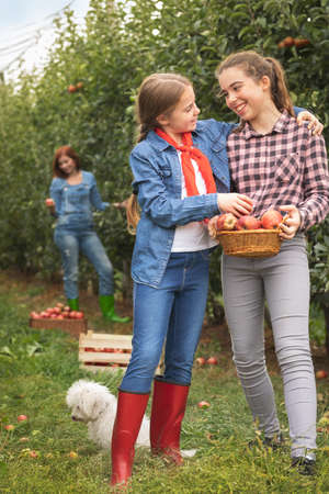 Two smiling young sister with basket apples in organic orchard Foto de archivo