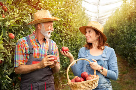 Nice farmer couple  with basket of full red apples in organic orchard