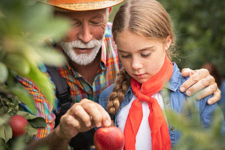 Senior man with granddaughter picking apples in orchard in autumn. Foto de archivo - 154726333