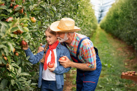 Grandfather and granddaughter harvesting apples in their garden