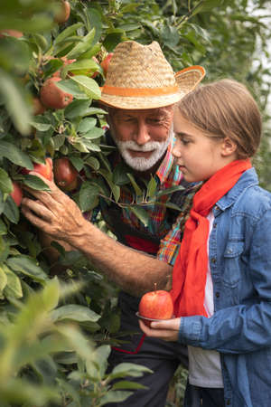 Senior man with granddaughter picking apples in orchard in autumn.