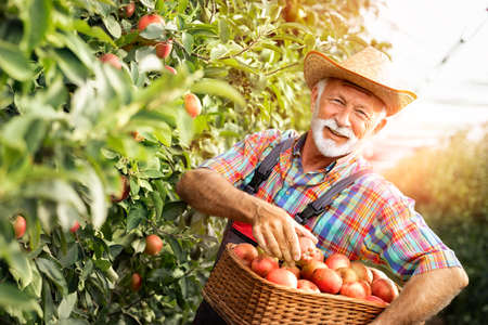 Senior gardener smiling and hold apples on a wooden box after picking from apple farm