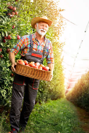 Fruit grower, sixty years old, carrying full crate of apples in his orchard