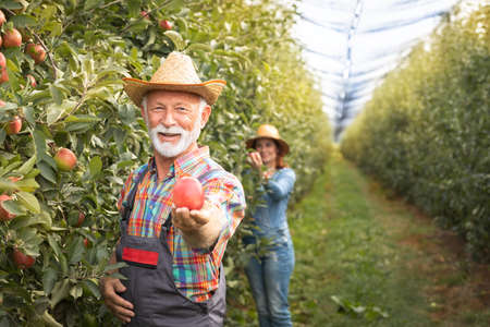 Portrait of happy man holding apple by woman in orchard Foto de archivo