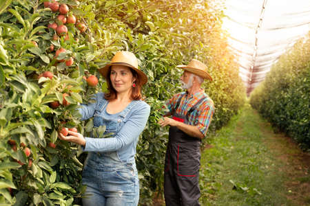 Nice farmer woman working in apple orchard with coworker Foto de archivo